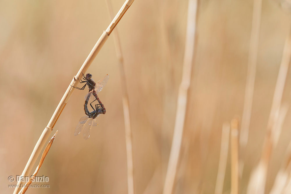 Mating pair of variegated meadowhawks, Sympetrum corruptum, at Saratoga Spring in Death Valley National Park, California