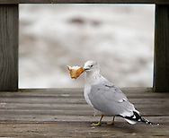 Newburgh, New York - A seagull holds a piece of break in its beak on a dock by the Hudson River on Jan. 30, 2010. © Tom Bushey / The Image Works