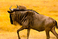 Blue Wildebeest (gnu) running, Ngorongoro Crater, Ngorongoro Conservation Area, Tanzania