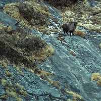 A Himalayan thar stands on a slope in the Khumbu region of Nepal's Himalaya.