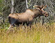 Bull moose, Denali National Park and Preserve, Alaska, USA.