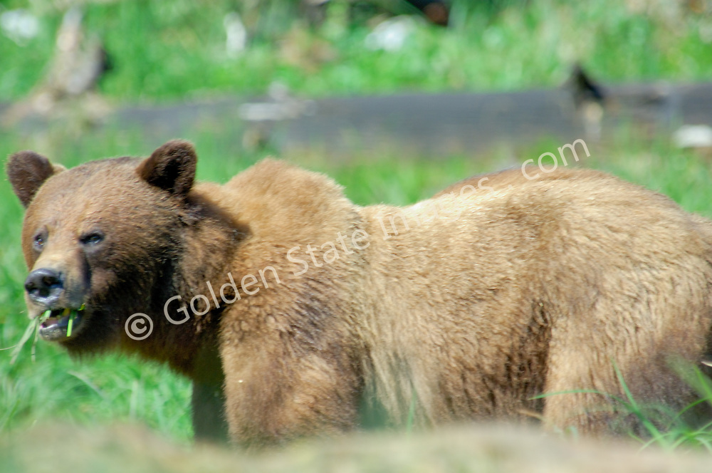 Alaskan Brown Bear Also Known as Grizzly Bear