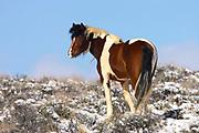 Feral Horse, Equus ferus, At McCullough Peaks Wildlife Management Area, Wyoming, United States, in snow