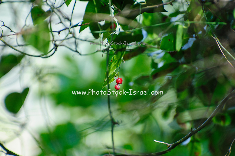 Black bryony (Dioscorea communis) berries Photographed in Israel in March