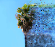 Digitally enhanced image of an exploding Mature California Fan Palm (Washingtonia filifera) with blue sky background. Photographed in Jaffa Israel