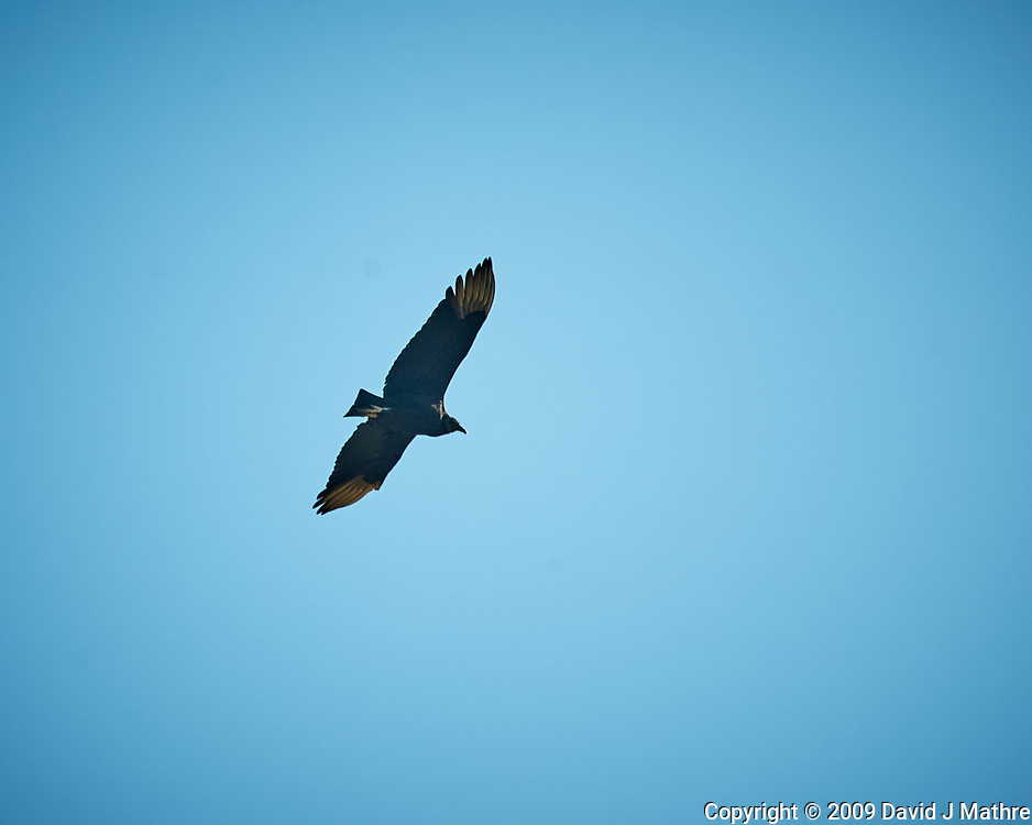 Black Vulture soaring. Image taken with a Nikon D3x camera and 80-400 mm VR lens (ISO 400, 400 mm, f/8, 1/1000 sec).