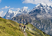 """Three women hike Wasenegg Ridge. Left to right are Eiger (the Ogre, 13,026 feet), Mönch (the Monk), and Jungfrau (the Virgin, 13,600 feet) in the Berner Oberland, Switzerland, the Alps, Europe. The Bernese Highlands are the upper part of Bern Canton. UNESCO lists """"Swiss Alps Jungfrau-Aletsch"""" as a World Heritage Area (2001, 2007). Published in Wilderness Travel 2017 Catalog of Adventures."""