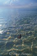 loggerhead sea turtle, Caretta caretta, hatchling swims from beach where it hatched towards deep ocean, where it will drift for next several years, Juno Beach, Florida, USA, Western Atlantic Ocean