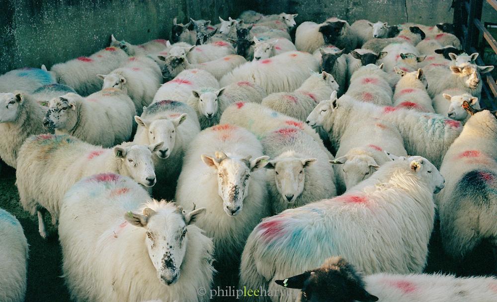 Flock of sheep held in a farmers pen, Connemara, Ireland