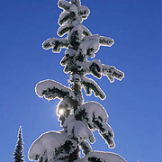 Treetop with snow. Winter.