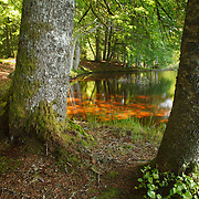 Wood scenery with reflectons on water, PNR du Livradois Forez; Etang de la Fargette, St. Germain L'Herm, Auvergne, France