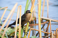 Female Great-tailed Grackle (Quiscalus mexicanus) perched in reeds on edge of Lake Chapala, Chapala, Jocotopec, Jalisco, Mexico