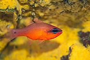 Cardinalfish-Apogon (Apogon imberbis)