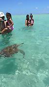 Green Sea Turtle, Kaneohe Bay, Oahu, Hawaii