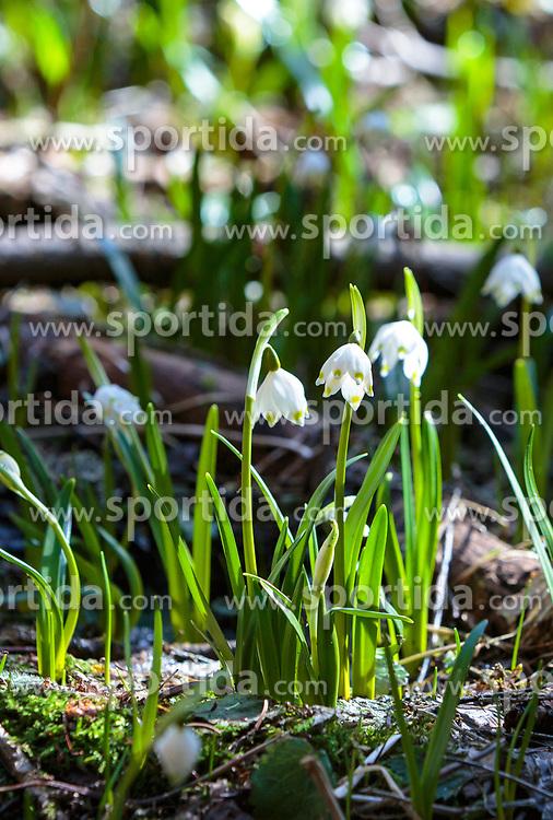 THEMENBILD - Märzenbecher, auch Frühlingsknotenblumen genannt, blühen auf einer Lichtung im Wald, aufgenommen am 02. April 2018, Kaprun, Österreich // Spring knot flowers on a glade in the forest on 2018/04/02, Kaprun, Austria. EXPA Pictures © 2018, PhotoCredit: EXPA/ Stefanie Oberhauser