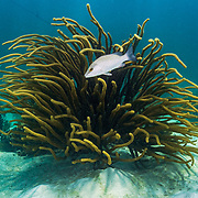 A mangrove snapper or gray snapper (Lutjanus griseus) swimming in front of soft coral in The Bahamas