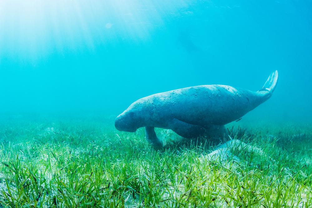A manatee (Trichechus manatus latirostrus) feeds on turtle grass (Thalassia testudinum) and manatee grass (Syringodium filiforme) in the shallows of Eleuthera, Bahamas.