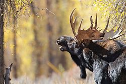 Autumn, Bull Moose, sniffing pheromones,  Grand Teton National Park