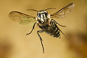 a bald-faced wasp (Dolichovespula maculata) in flight. Western Oregon.