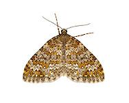 70.071 (1743)<br /> Yellow-ringed Carpet - Entephria flavicinctata