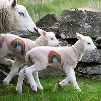 NHS Rainbow Lambs