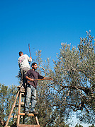 Harvetsing at a Olive Grove outside Mahdia, Tunisia