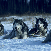 1993 Training Expedition sled dogs.