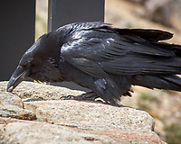 Common Raven (Corvus corax). Trail Ridge Road. Rocky Mountain National Park, Colorado. Image taken with a Nikon D2xs camera and 80-400 mm VR lens.