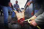 HUNTING WILD BOAR, France. Ardeche. Butchery at the days  end, all the meat will be shared amongst  the hunters. Wild boar & deer hunting with hounds. A pursuit which is loved by some and hated by others. The hunters say hunting is natural, their opposers say it is bloodthirsty. There are millions of guns and it is a popular bloodsport.