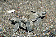 olive ridley sea turtle hatchlings, Lepidochelys olivacea, emerge form nest on beach, Playa Ostional, Costa Rica, Central America ( Eastern Pacific )