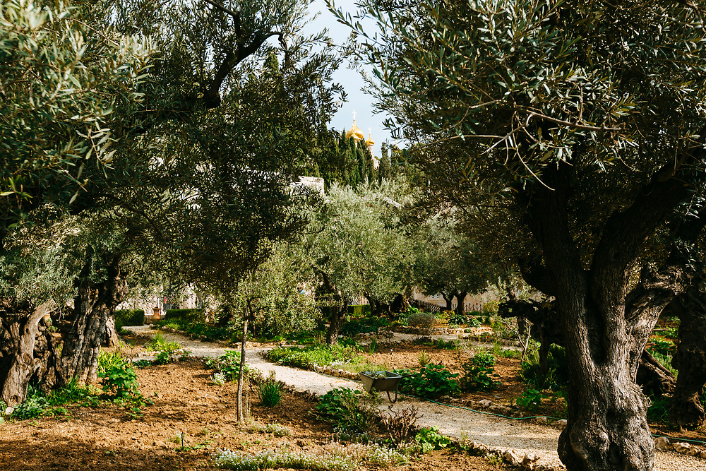 Ancient olive trees, held by tradition to be the silent witnesses of Jesus' prayer and suffering the evening before his crucifixion, in the Garden of Gethsemane, located on the Mount of Olives, adjacent to the Church of All Nations, also known as the Church or Basilica of the Agony in Jerusalem, Israel, on February 21, 2019. The golden onion domes of the Russian Orthodox Church of St. Mary Magdalene are seen in the background.