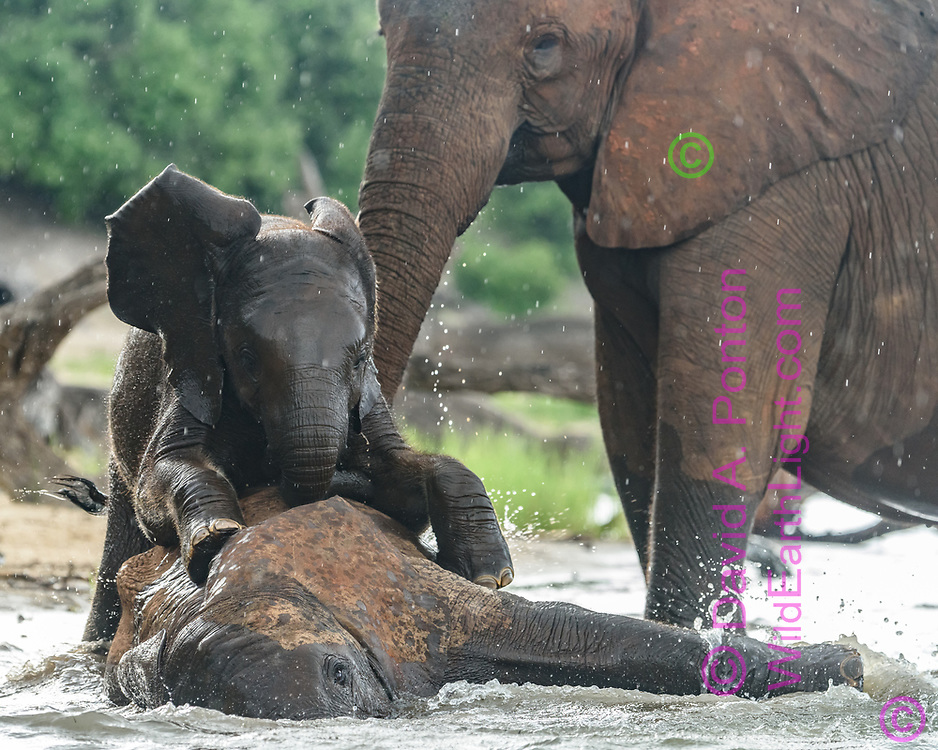 Baby elephant playfully climbs onto young elephant that is laying in the water at the edge of the Chobe River, Chobe National Park, Botswana, © David A. Ponton