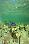 juvenile lemon shark, about 1 year old, Negaprion brevirostris, Bimini Lagoon, Bahamas ( Western Atlantic ) (c-r)