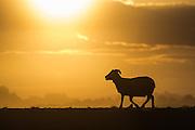 Sheep at sunrise, Northern Iceland | Sau i soloppgang, Nord-Island.