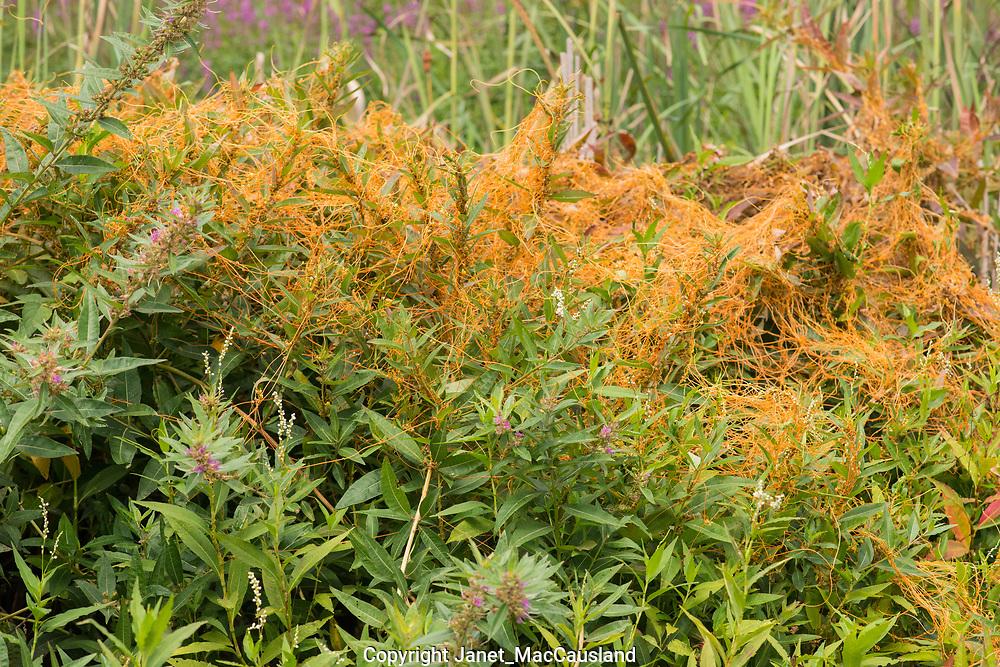 An orange, spaghetti-like, parasitic Dodder plant drapes over its host along side a pond in Massachusetts, USA.