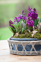 Table arrangement of Hyacinth 'Woodstock' and Tulipa 'Queen Ingrid' in a shallow bowl with moss