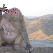 Very commun monkey in nothern india. This female is quite thirsty. These apes can be very agressive.