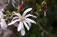 A Spring Star Magnolia (Magnolia stellata) Flower at a backyard garden in southern British Columbia, Canada.