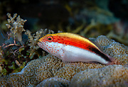 Freckled Hawkfish, the black-sided hawkfish, or Forster's hawkfish at Dicky's Place, in Papua New Guinea