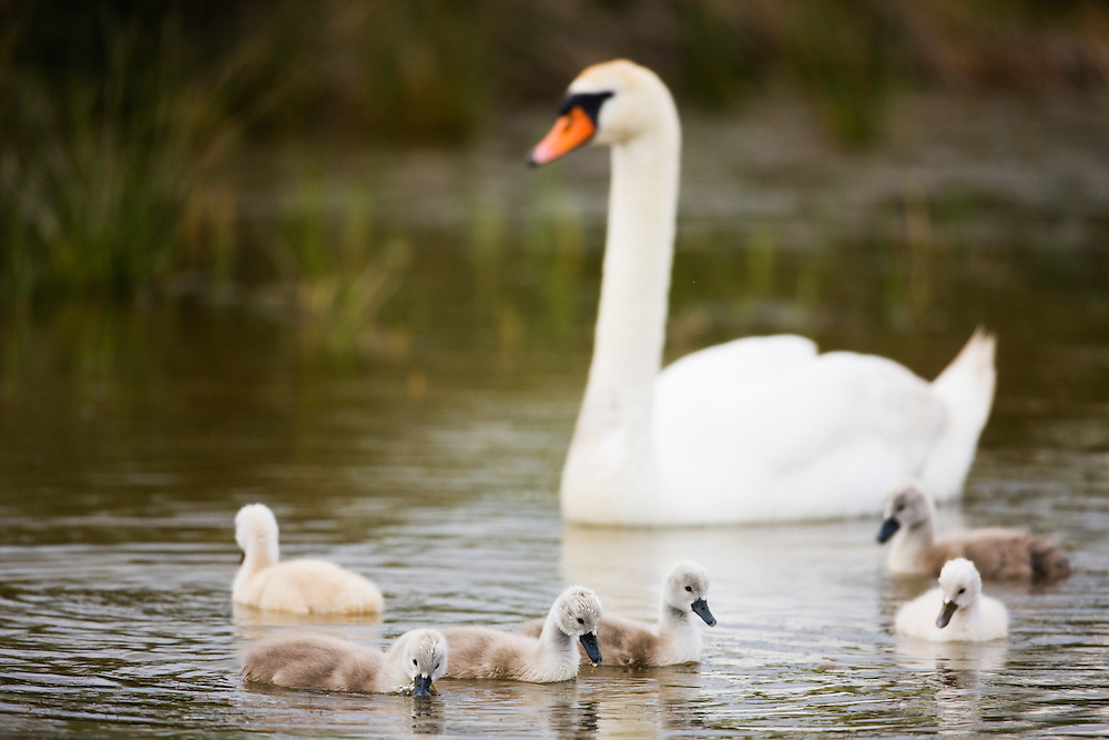 Mute Swan (Cygnus olor) with chicks in water, Pont du Gau, Camargue, France