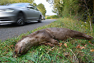 Otter - Lutra lutra. Adult male killed on the road.  Length 95-135cm Sinuous swimmer with a bounding gait on land. Feeds mainly on fish. Adult has long, cylindrical body, with short legs and long, thickset tail. Blunt head has sensitive bristles and toes are webbed. Coat is mainly brown but chin, throat and belly are whitish. Fur has water-repellent properties: sleek in water but 'spiky' when dry. Mostly silent. Persecuted and poisoned (by agricultural pesticides) until mostly extinct in lowland Britain by 1960s. Now recovering and recolonising former haunts.