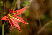 Nova Lima_MG, Brasil...Estacao Ecologica Mata dos Fechos. Na foto detalhe de um lirio...The Ecological Station Mata dos Fechos. In this photo a a red lily...Foto: JOAO MARCOS ROSA / NITRO...