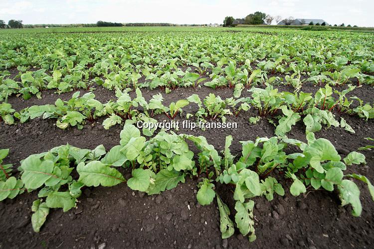 Nederland, Well, 19-8-2020 Een veld met rode bieten .Foto: ANP/ Hollandse Hoogte/ Flip Franssen