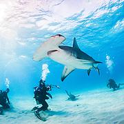 Scuba divers interact with a Great hammerhead shark (Sphyrna mokarran) in Bimini, Bahamas.