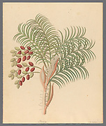 Phoenix [Phoenix reclinata]  wild date palm or Senegal date palm, from a collection of ' Drawings of plants collected at Cape Town ' by Clemenz Heinrich, Wehdemann, 1762-1835 Collected and drawn in the Cape Colony, South Africa