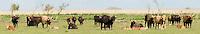 Heck cattle (Bos taurus) group on grass plain. Oostvaardersplassen, Netherlands. Mission: Oostervaardersplassen, Netherlands, June 2009.
