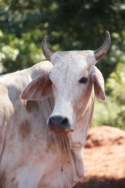 A rural Zulu cow