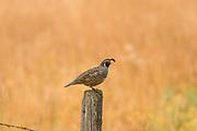 Male California quail perched on a fencepost