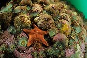 Slipper snail (Crepidula dilatata), seastar (Diplodontias sp)  Comau Fjord, Patagonia, Chile | Hardsubstrad mit Seestern (Diplodontias sp) Annemonen und Pantoffelschnecke (Crepidula dilatata)