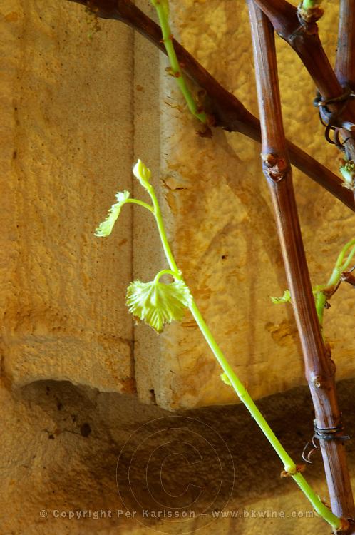 Domaine des Grecaux in St Jean de Fos. Montpeyroux. Languedoc. Young vines. France. Europe.